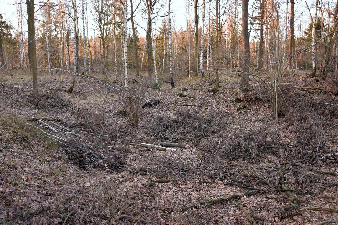 złoty las